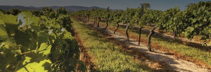ballandean grape grove