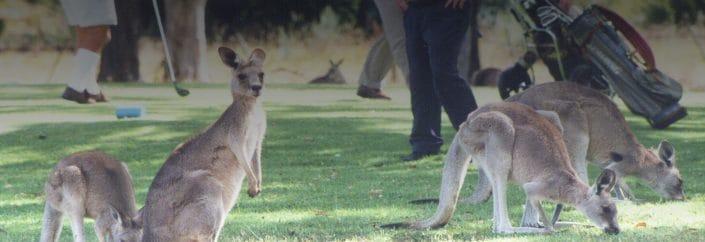 kangaroos in field