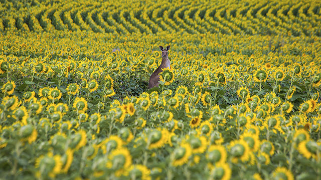 Kangaroo in the middle of a sunflower field