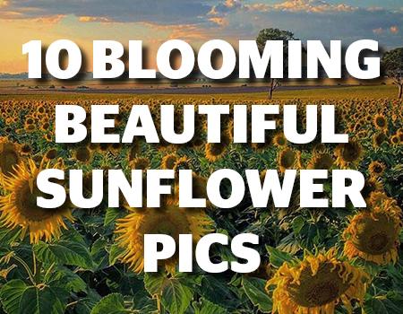 10 BLOOMING BEAUTIFUL SUNFLOWER PICS