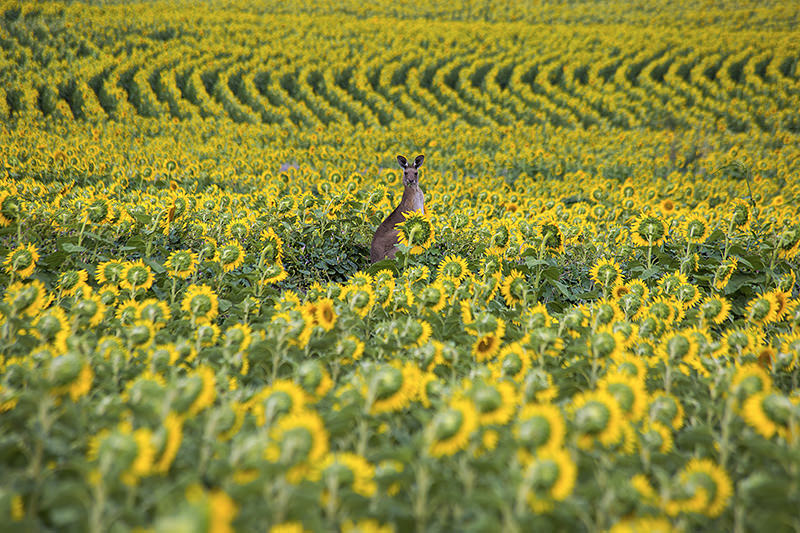 Kangaroo in a sunflower field