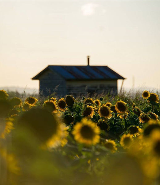 Sunflower and House