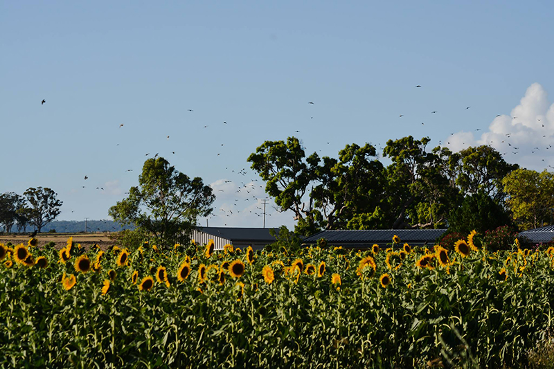 Field of sunflowers with birds in the air