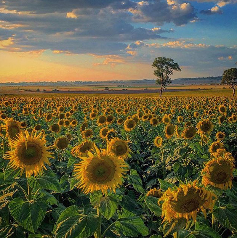 Sunflower field and stunning sunset