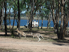 Kangaroos bouncing at the campgrounds