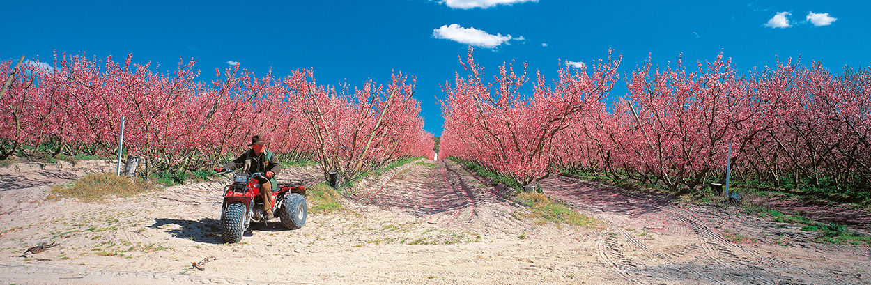 Farmer in his apple blossom orchard