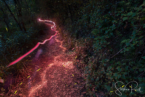 Fire Flies at Queen Mary Falls