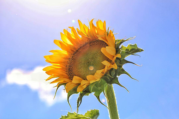 Your Guide to Sunflower Spotting on the Southern Downs ...