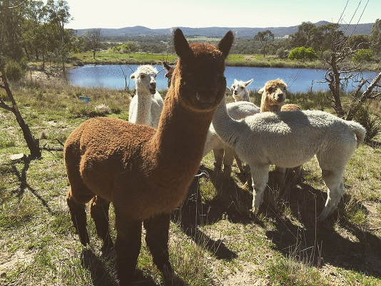 Alpacas at Glen Aplin Gardens