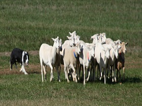 Queensland Championships Sheep Dog Trials, Allora